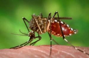 destaque_Aedes_aegypti